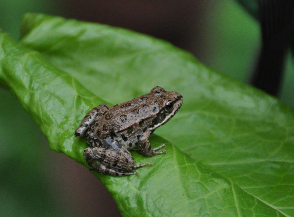 Steinhoegl Katrin: Frosch